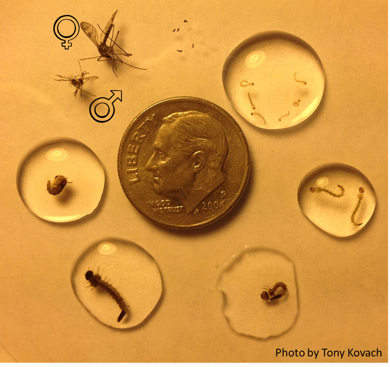 [The Influence of Climate Change and Evolution on Mosquito Life History Traits and Pathogen Transmission]