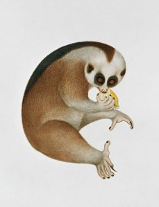 [Slow Loris Conservation in Vietnam: Multidisciplinary Approaches to Address a Complex Conservation Problem]