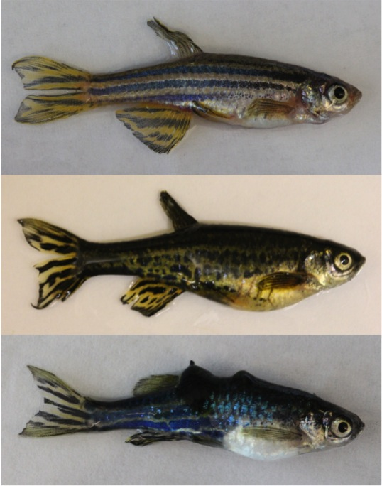 [Investigating the Formation of Pigment Patterns and Cancer Development in Zebrafish]