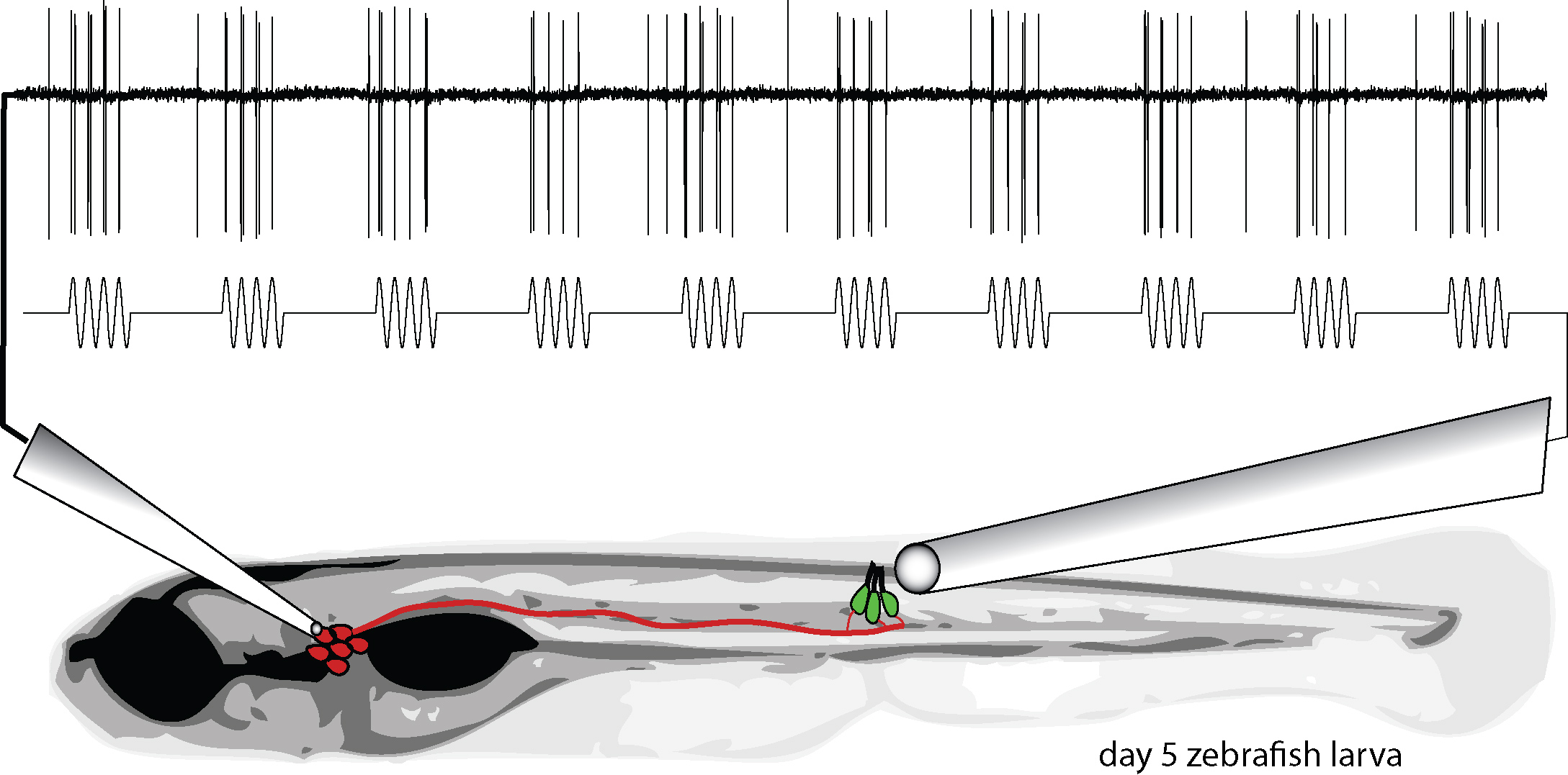 [Listening In on Hair Cell Activity in the Zebrafish Lateral Line]