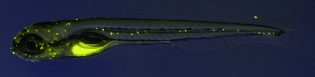 [The Molecular Signature of Hair-Cell Progenitors in the Zebrafish Lateral Line]