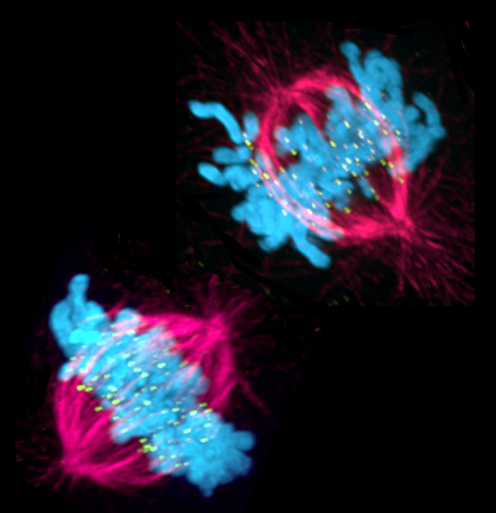[Regulating Kinetochore-Microtubule Attachments in Mitosis]